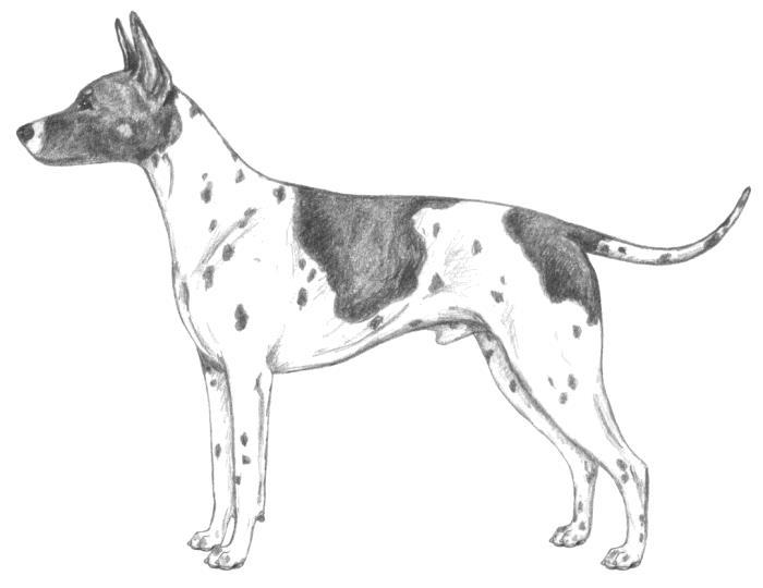 Terrier Americano