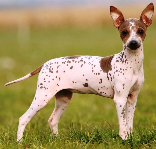 Terrier americano sin pelo