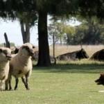 Pastoreo con Perros