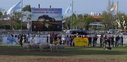 El Kennel Club en Santa Rosa, savia con ovejas