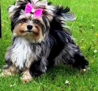 Estándar Yorkshire Terrier Colors