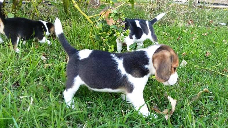 Beagle jugando en el pasto