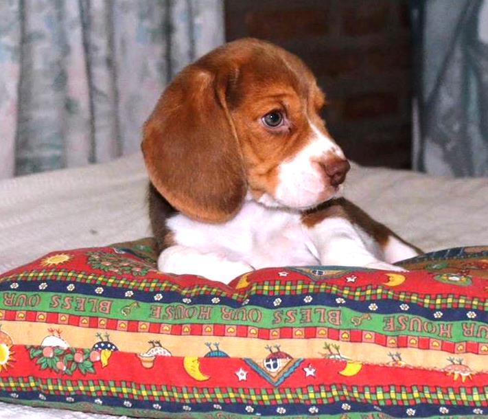 Beagle sobra colchoneta