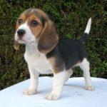 Estándar Beagle