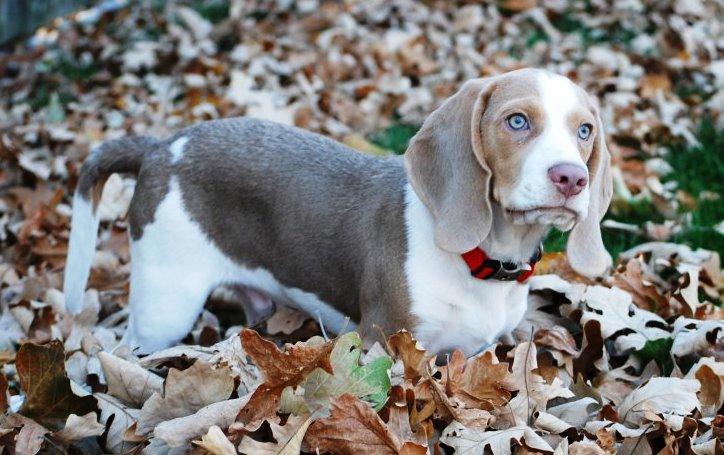 Beagle Tricolor Azul