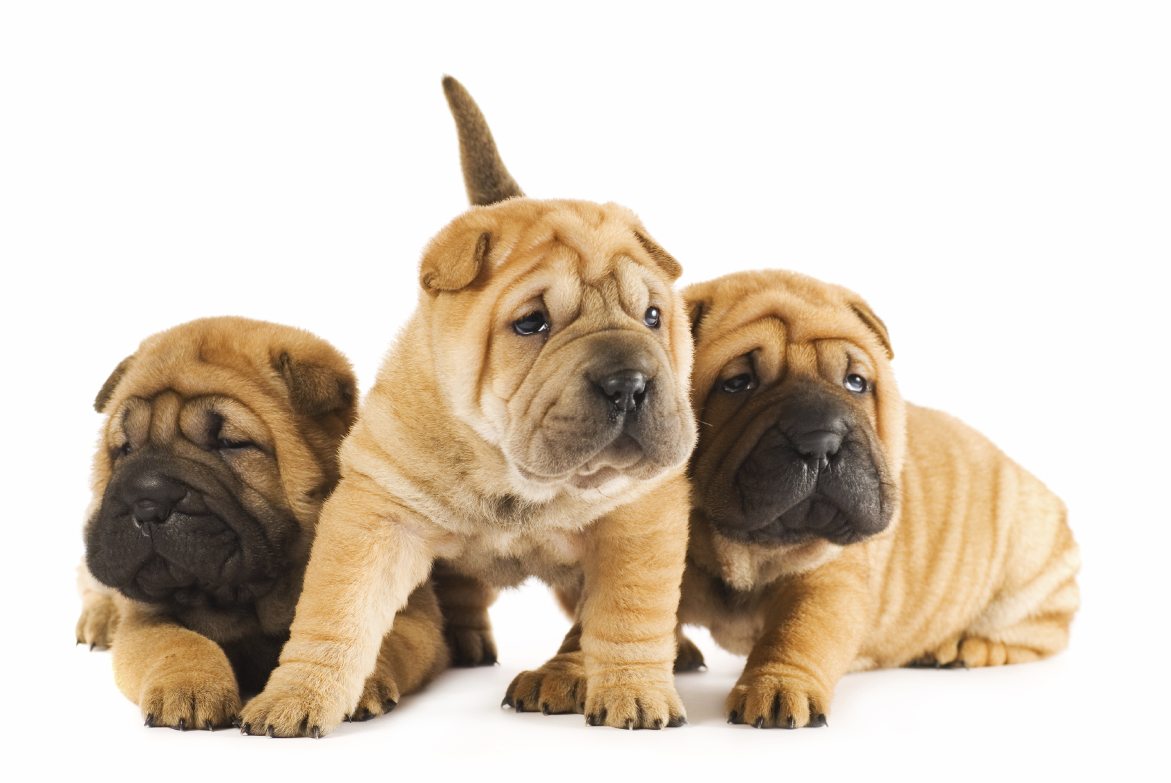 Shar pei tres cachorros