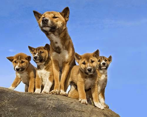 perros cantores de guinea con cachorros