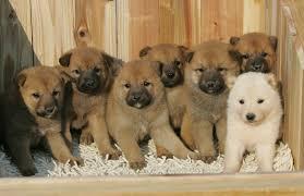 Chindo o Jindo una raza extraña cachorros