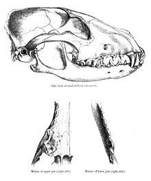 Cráneo de Canis Alpinus - Dhole