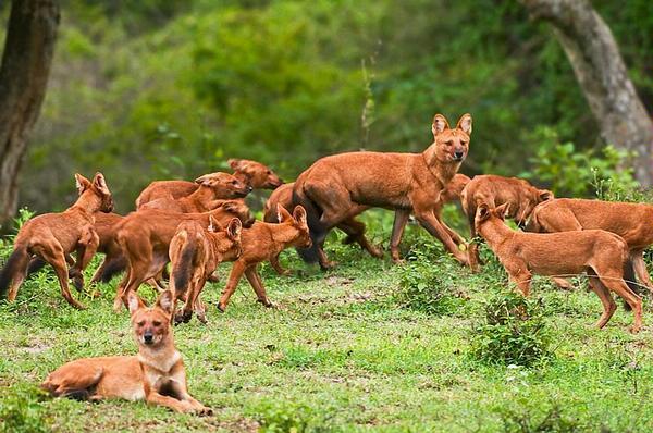 Dhole y Cachorros