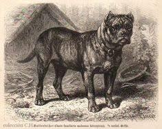 Bullenbeisser, una raza creadora de muchas – Kennel Club Argentino