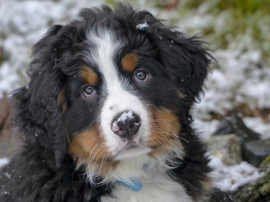 boyero de berna cabeza - registros de propiedad en los caninos