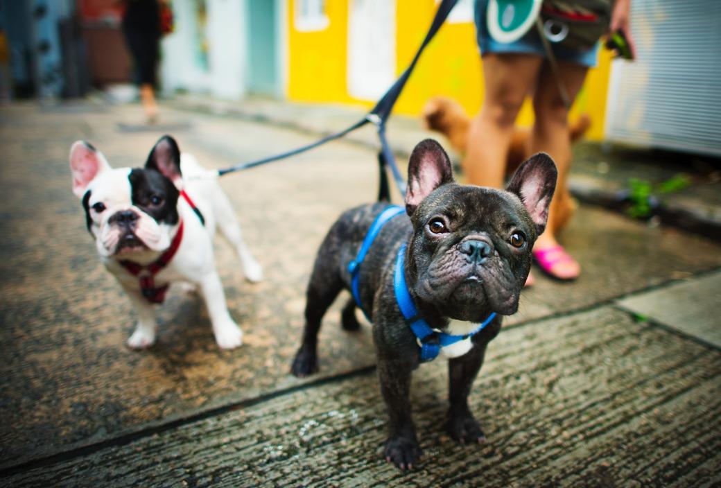 bull dog frnaces paseando - registros de propiedad en los caninos