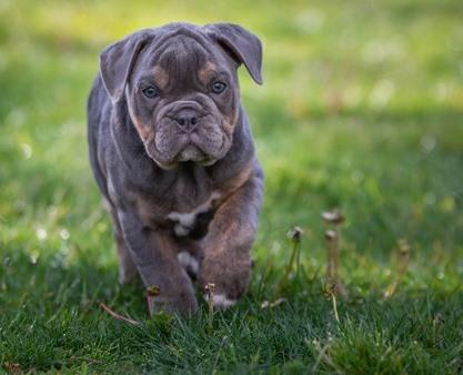 bulldog blue - certificar a tu perro en el KCA