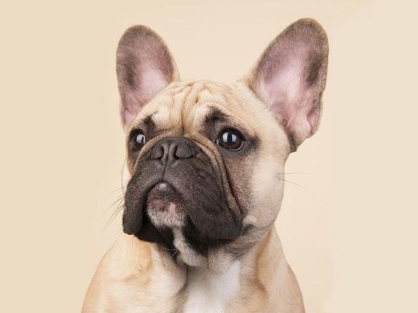 Bulldog Francés Cabeza