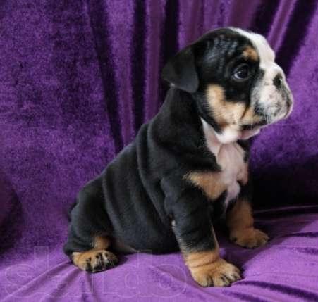 bulldog ingles tricolor