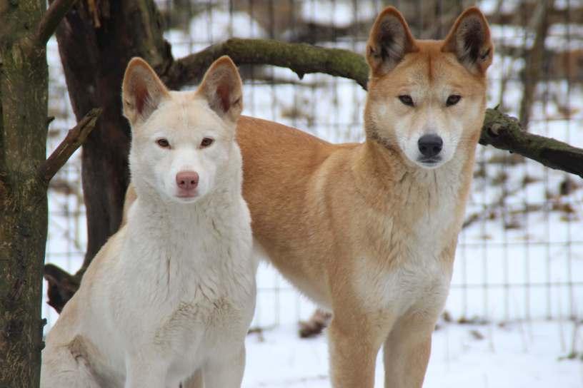 Dingo blanco