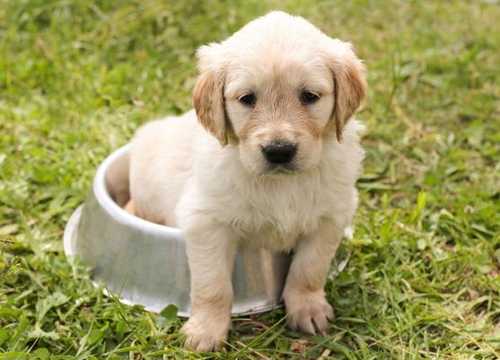 cachorro golade -Asesoramiento Legal Frente a Reclamos