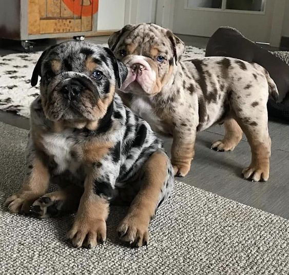 Bulldog ingles merle