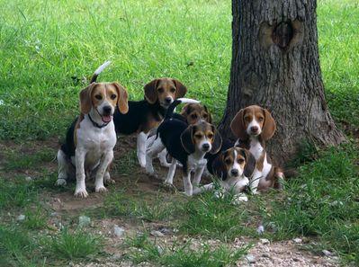 beagles - criadero de perros