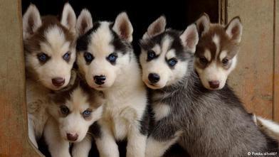 cachorros siberianos - criaderos de perros