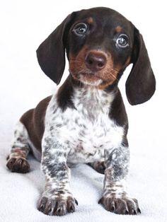dachshund piedbald