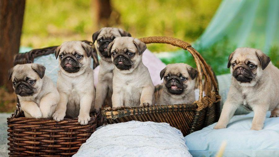 cachorros pug en canasta