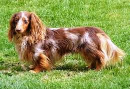 dachshund arlequin de pelo largo