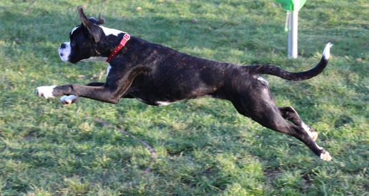 perro boxer saltando