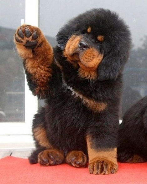 Dogo del Tíbet o Mastín del Tíbet cachorro