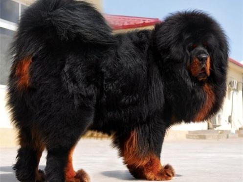 Mastín del Tibet