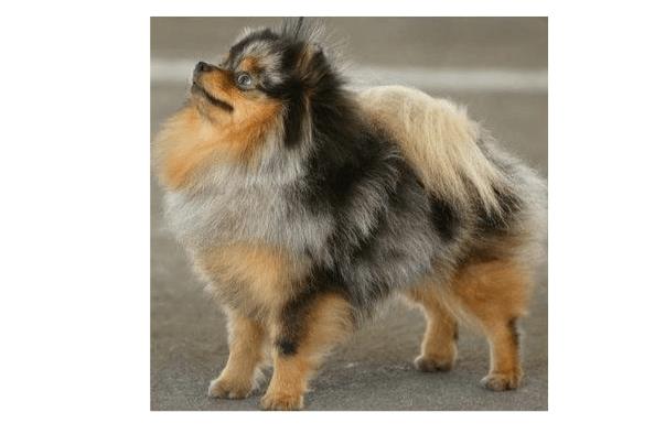 Pomerania Merle y Rojo