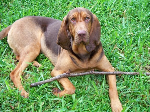 Perro de San Huberto o Bloodhound marron