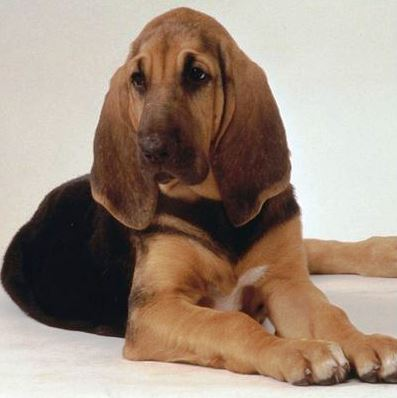 Perro de San Huberto o Bloodhound