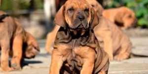 Fila Brasilero cachorros