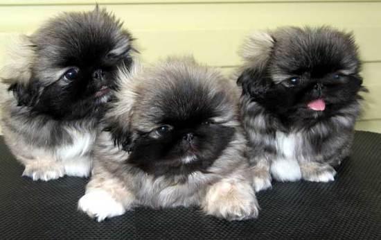 pekinés cachorros