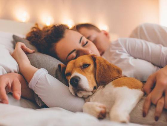 Perro beagle durmiendo con pareja - Nesting con nuestros perros