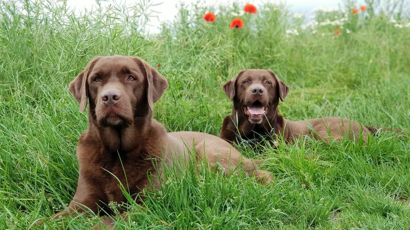 Labrador Retriever marron