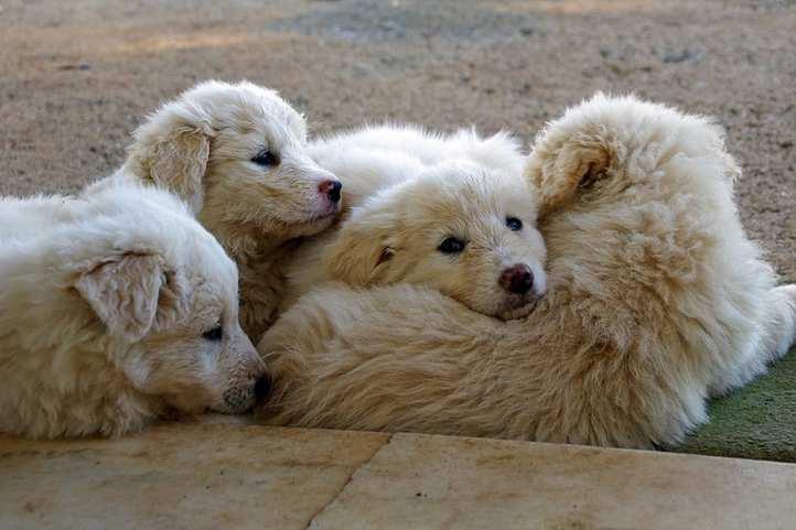 Pastor de Maremma cachorros