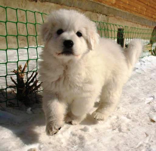 Pastor de Maremma cachorro en la nieve