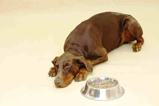 perro doberman inapetente - Coronavirosis Canino