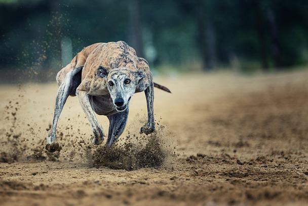 Galgo español corriendo viste de frente