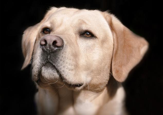 Labrador Retriever Cabeza