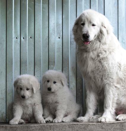 Pastor de Maremma con cachorros