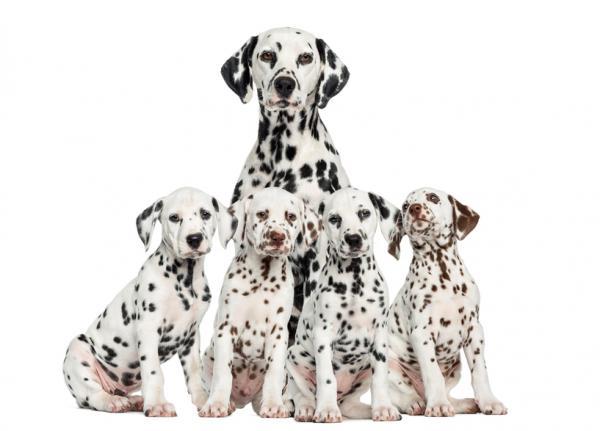 Dálmata con cachorros