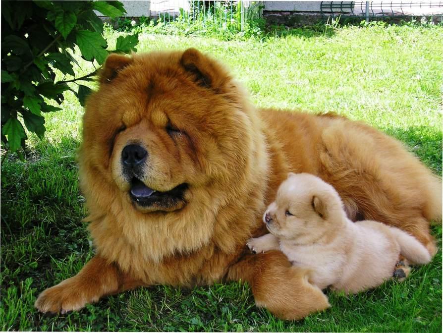 Chow Chow con cachorro