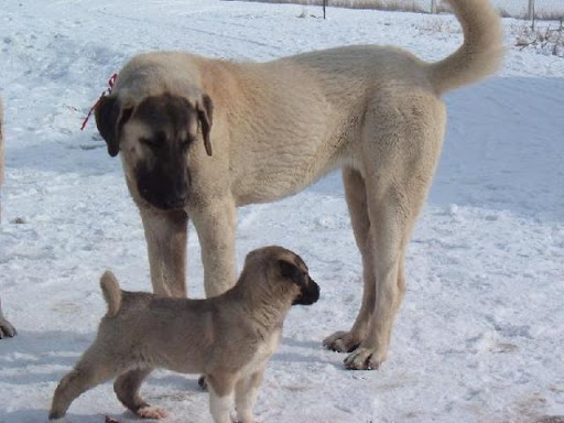 Kangal con cachorro