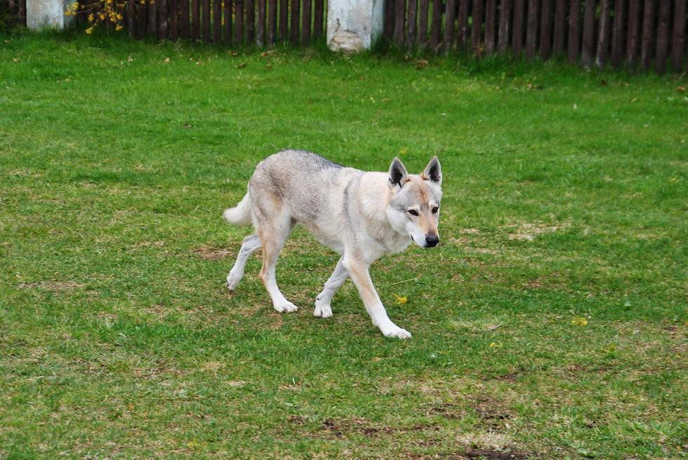 Perro Lobo Checoslovaco caminando