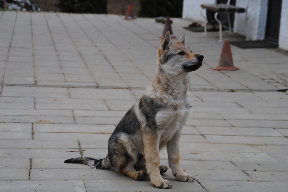 cachorro sentado de Perro Lobo Checoslovaco