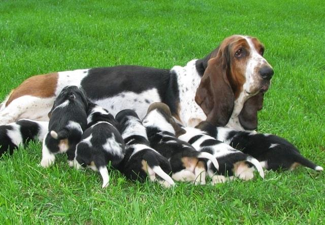 Basset Hound con cachorros